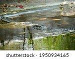 Crocodile In Water. Saltwater...