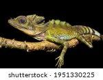 Great Anglehead Lizard With...