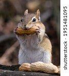 A Chipmunk Biting Into A Peanut