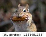 A Portrait Of A Chipmunk Biting ...