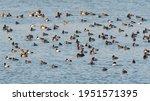 Many Wild Ducks Swim In The...