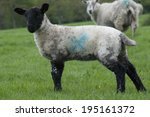 Small photo of Baby Black and White Lamb with Blue Raddle X Mark