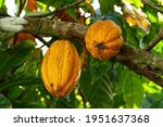 Yellow Cocoa Pods Grow On The...