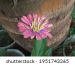 Botanically Known As The Bellis ...