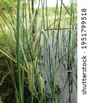 New Shoots Of Water Reeds Close ...