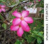 Calachuchi Flower In Full Bloom
