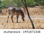 A Burchell's Zebra On Dry Grass