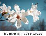 Close Up Of Magnolia White...