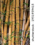 Bamboo Trees On A Sunny Day In...