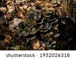 Old Dry Polypore Mushroom...