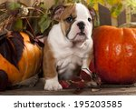 English Bulldog Puppies And A...