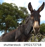 A Dark Brown Donkey With Long...