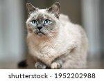 older gray cat with piercing... | Shutterstock . vector #1952202988