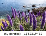 Large Purple Flowers By The...