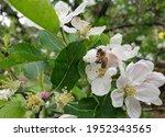Macro Photo Of A Honey Bee...