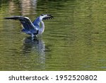 A Grey Heron Opens Its Wings In ...