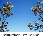 Branches And Leaves Of Protea...
