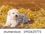 Labrador Puppy Stretches To...