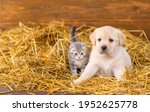 Labrador Puppy And Fluffy Tabby ...
