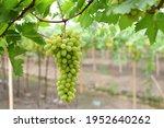 Green Grape For Fresh Food...