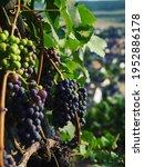 Purple ripe wine grapes fruit branch vineyard in Stein am Rhein town city at the Rhine river in Schaffhausen Switzerland Europe