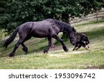 Small photo of Black friesian young colt playing with best friend black dog. Rural animal stories.