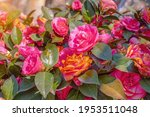 Beautiful Red Camellia Flowers...