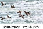 Mallard Waterfowl Birds Flying...