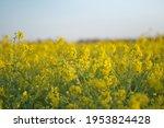 yellow field of flowering rape... | Shutterstock . vector #1953824428