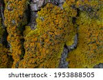 A Bright Yellow Lichen Has...