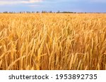 Image Of Wheat Field With Blue...