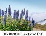 Echium Candicans Plant On...
