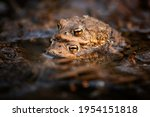 The Common Toad  European Toad  ...