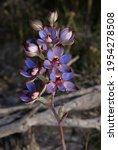 Western Azure Sun Orchid ...