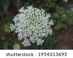 Blooming Flowers Of Wild Carrot....