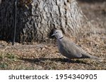 Eurasian Ring Neck Dove With...