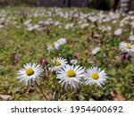 Oxeye Daisy Whiteweed White And ...