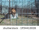 Male Lion Rescue Behind Cage...
