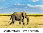 Lonely Huge Elephant Grazes At...