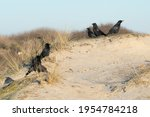 Group Of Carrion Crowes  Corvus ...