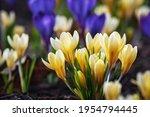 Crocus Flowers Blooming In...