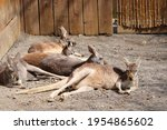 Kangaroo Lying Down   New...