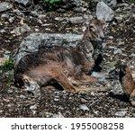 Moufflon Female On The Ground....