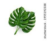 monstera leaves isolated on...   Shutterstock .eps vector #1955192338