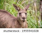 Male Kangaroo Portrait Close Up....