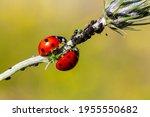 Close Up Of A Ladybird Eating...