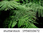 The Tree Ferns Are The Ferns...