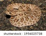 A Young Mojave Rattlesnake ...