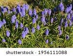 Blue Muscari Armeniacum Or...