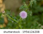 Bull Thistle Is A Widespread...